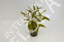 alternanthera-reinickii-mini
