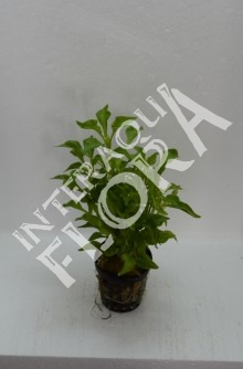 Alternanthera bettzickiana